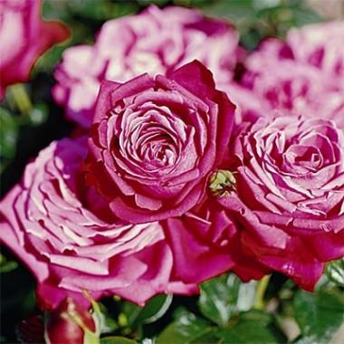 Роза Senteur Royale смотреть