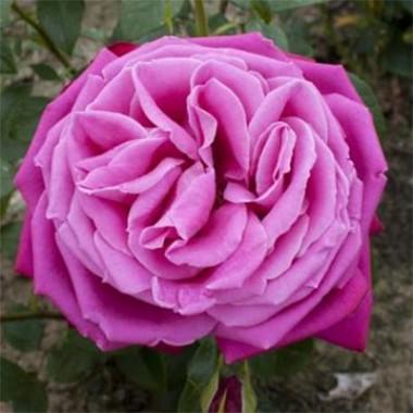 Роза Senteur Royale интернет-магазин