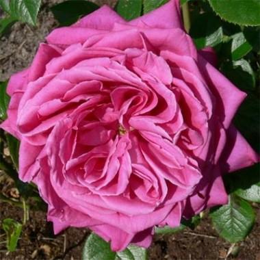 Роза Senteur Royale фото