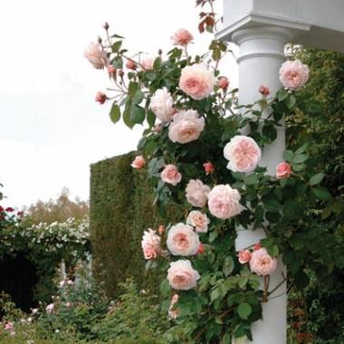 Роза Shropshire Lad смотреть