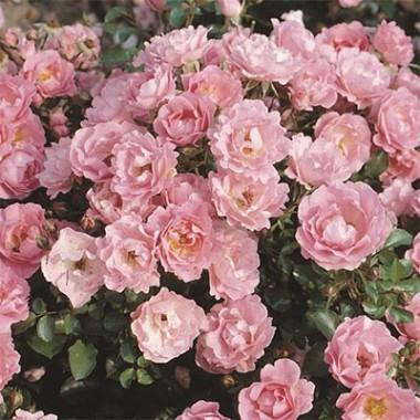Роза Sommerwind в киеве