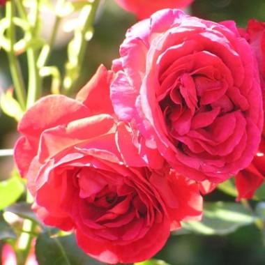 Роза Sympathy фото