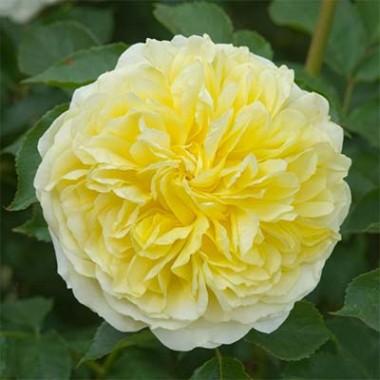 Роза The Pilgrim (плетистая) фото цена