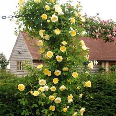Роза The Pilgrim (плетистая) смотреть