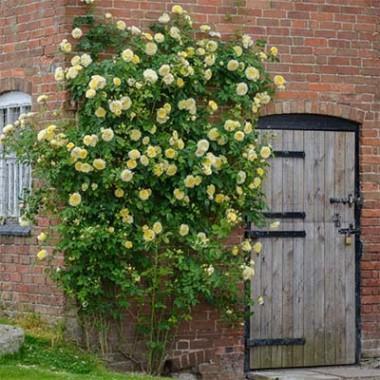 Роза The Pilgrim (плетистая) описание