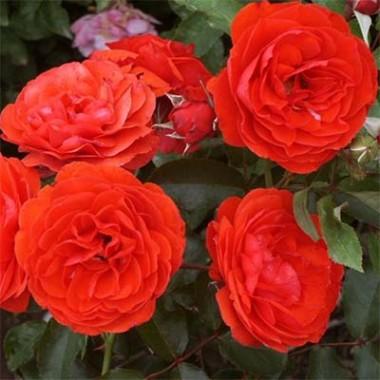 Роза Trumpeter смотреть