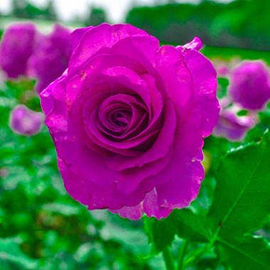Роза Violette Parfume в киеве