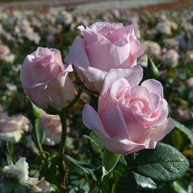 Роза Vivaldi купить онлайн