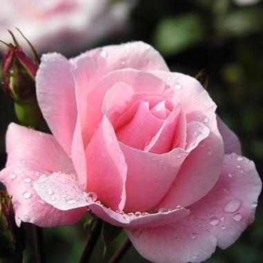 Роза Vivaldi почтой