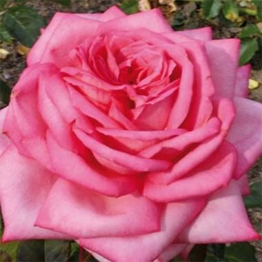 Роза Wedding Bells смотреть