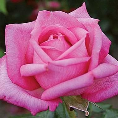 Роза Wedding Bells купить онлайн