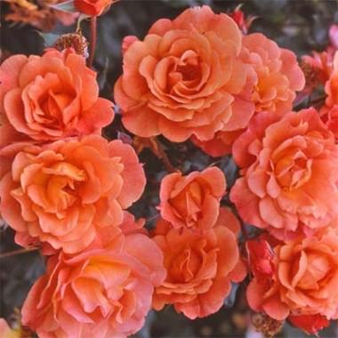 Роза Westerland почтой