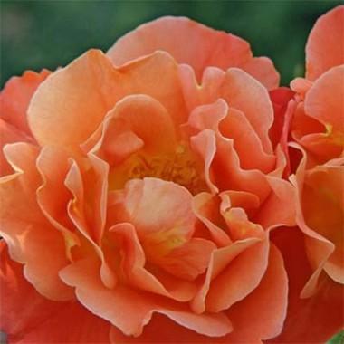 Роза Westerland в киеве