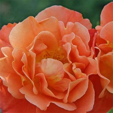 Роза Westerland интернет-магазин
