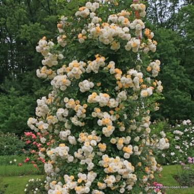 Роза Ghislaine de Feligonde почтой