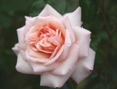 Роза плетистая Penny Lane смотреть