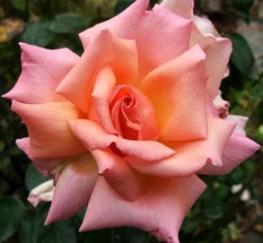 Роза Compassion купить онлайн