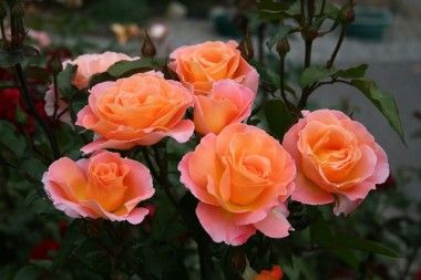 Розы Харкнесc