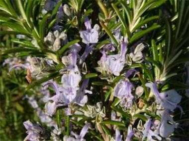 Розмарин Officinalis фото цена