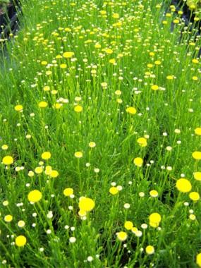 Сантолина Rosmarinifolia смотреть