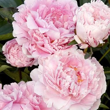 Пион Sarah Bernhardt фото