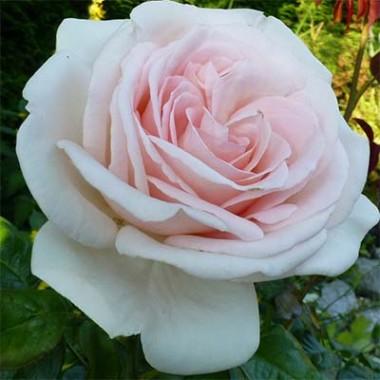 Роза Schloss Ippenburg описание