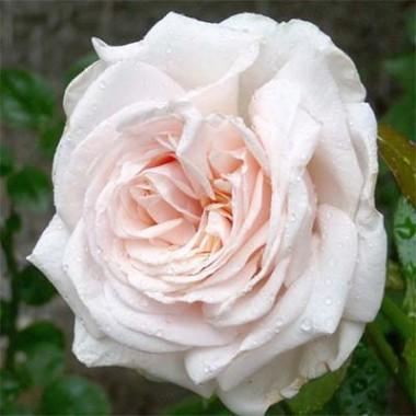 Роза Schloss Ippenburg смотреть