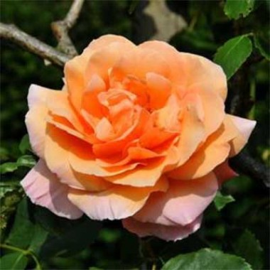 Роза Schoolgirl купить онлайн