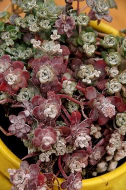 Седум Purpureum фото цена