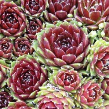 Каменная роза Silbercarneol фото