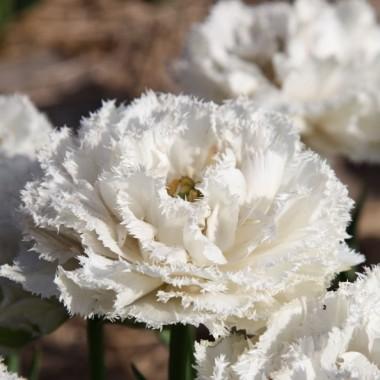 Тюльпан Snow Crystal описание