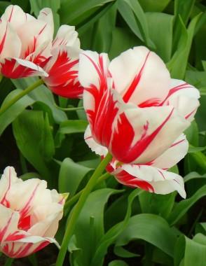 Тюльпан Sorbet почтой