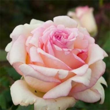 Роза Souvenir de Baden-Baden в киеве
