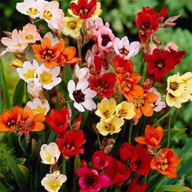 Спараксис Tricolor Mix фото цена