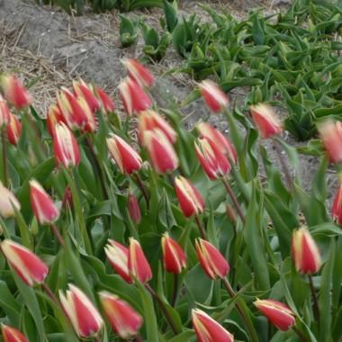 Тюльпан Spring Surprise почтой