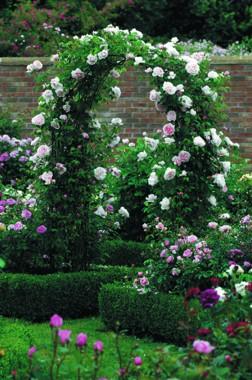 Роза St. Swithun купить онлайн