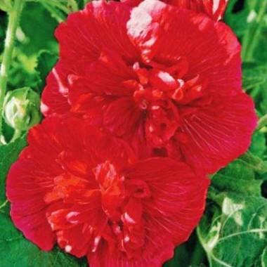 Шток-роза Майоретте, красная почтой