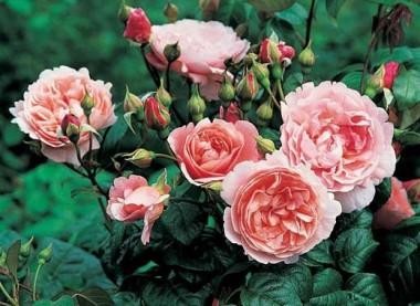 Роза Strawberry Hill в киеве