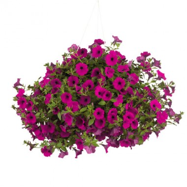Сурфиния Trailing Purple  фото