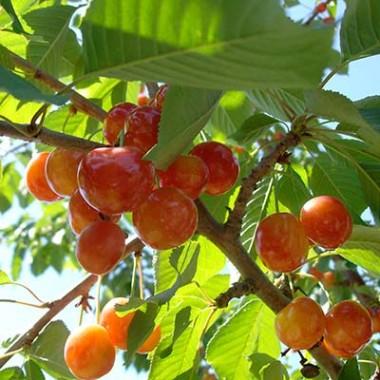 Саженцы плодовых купить