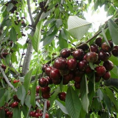 Саженцы плодовых