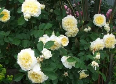 Роза The Piligrim в киеве