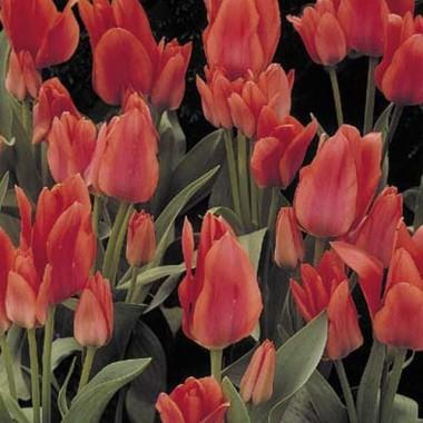 Тюльпан Toronto купить онлайн
