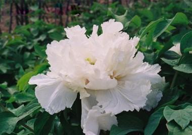 Пион Fragrant Jade древовидный описание