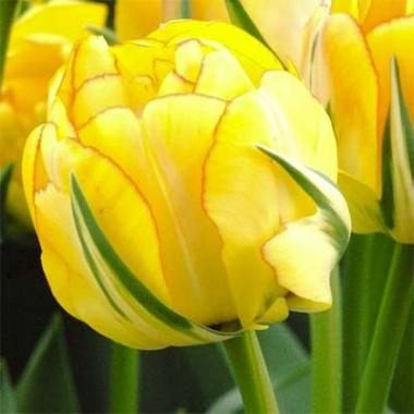 Тюльпан Akebono фото