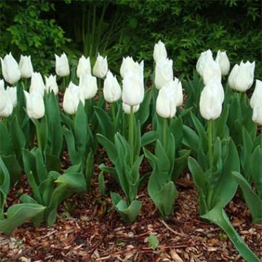Тюльпан Agrass White описание