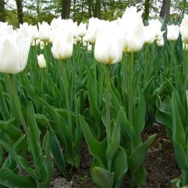 Тюльпан Agrass White почтой