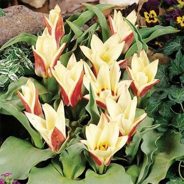 Тюльпан Ancilla почтой