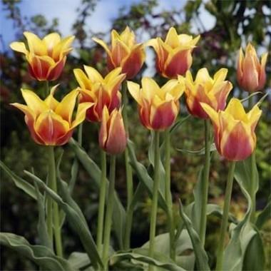 Лилеоподобные тюльпаны купить