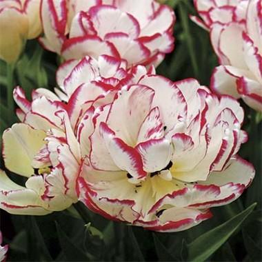 Тюльпан Belicia  в киеве